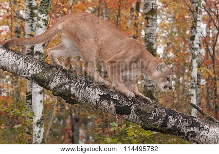 Adult Male Cougar (puma Concolor) Climbs Down Branch