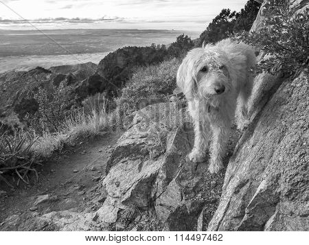 labradoodle Above The Rio Grande Valley