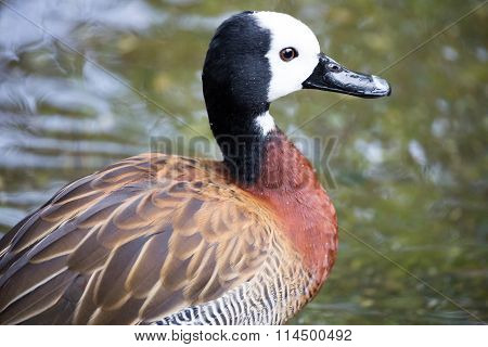 White-faced Whistling Duck, Dendrocygna viduata