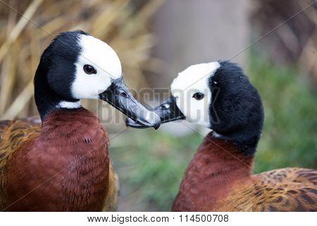 White-faced Whistling Ducks, Dendrocygna viduata