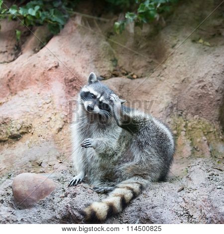 Raccoon - Procyon lotor (harvest) portrait