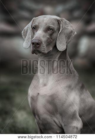 Gray Weimaraner dog. Closeup portrait in outdoor poster