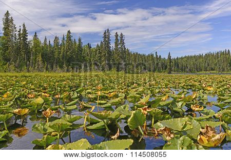 Water Lilies On A Sunny Day