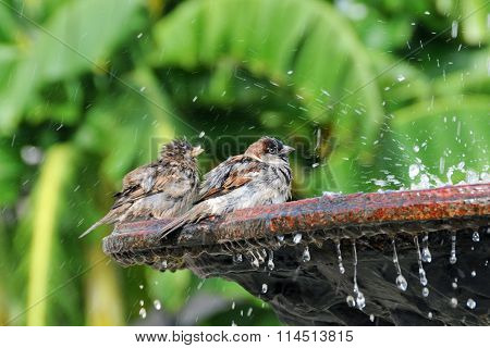Pair of sparrows bathing water fountain