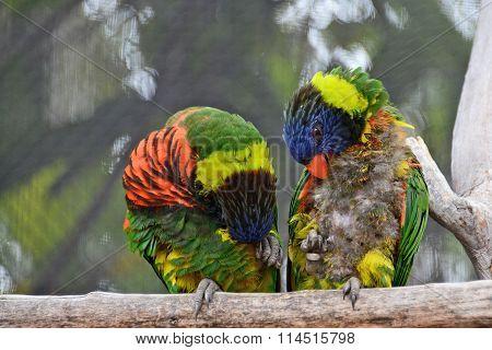 Two Lorikeets grooming preening themselves