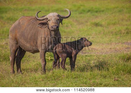 African Buffalo With Calf,
