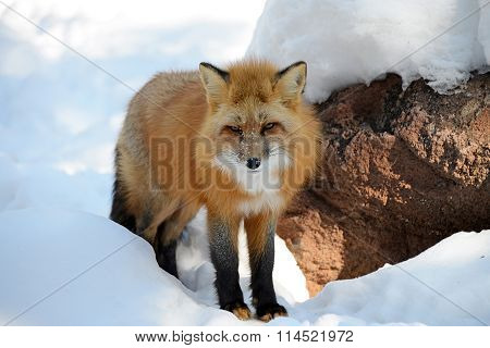 Red Fox squinting from the bright sunlight reflected off the snow