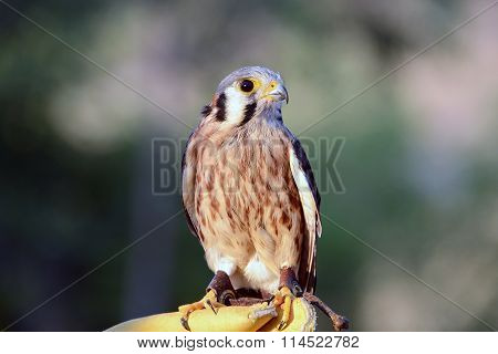 American kestrel sometimes colloquially known as the sparrow hawk perched on gloved hand