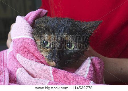 Torbie Tourteshell tabby cat being towel dried after a flea bath