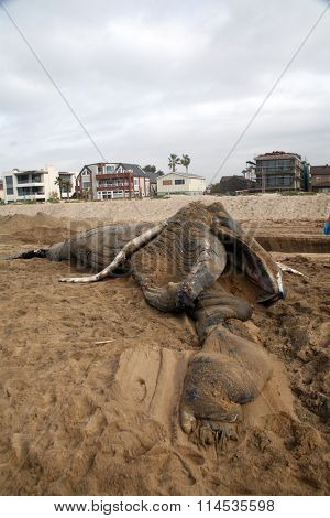Close up view of a Dead Humpback Whale that washed upon the shore in Sunset Beach California. .