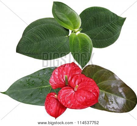 Melastom Affine leaf and red laceleaf isolated on white background