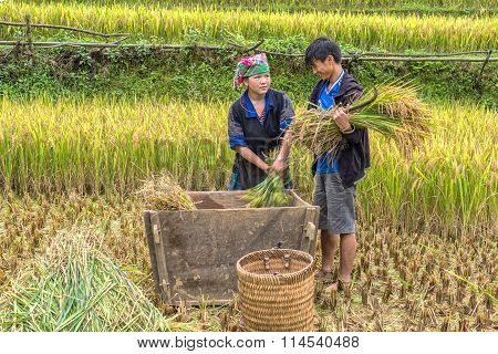 Husband and wife are harvesting rice in the countryside