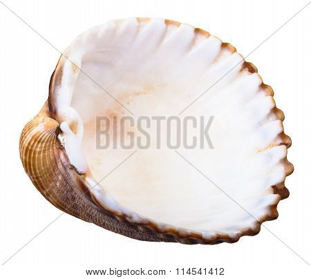 Empty Shell Of Sea Clam Mollusc Isolated