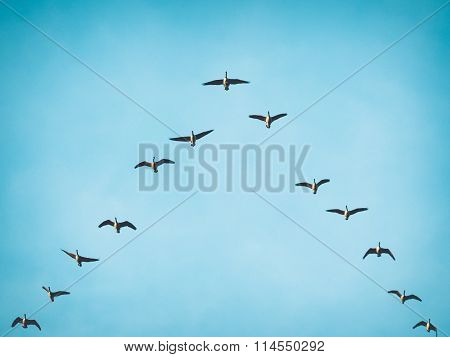 Flying Canada Geese in V formation