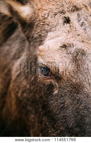 Close up of eye of wild female moose, elk.