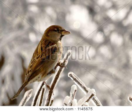 Sparrowonice