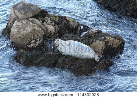 White Seal Resting