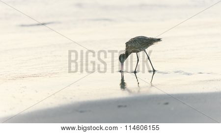 Shorebird Looking For Food