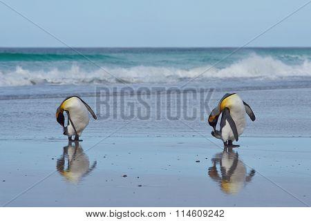 King Penguins Preening