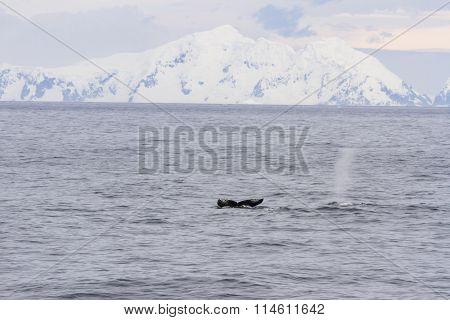 Humpbacks In Antarctica