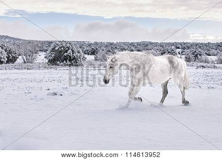 White Horse trotting in Snow