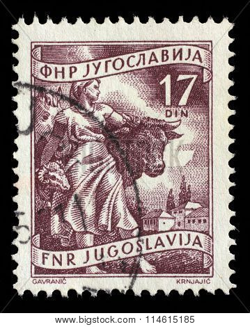 YUGOSLAVIA - CIRCA 1952: A stamp printed in Yugoslavia shows Livestock raising, inscriptions from series