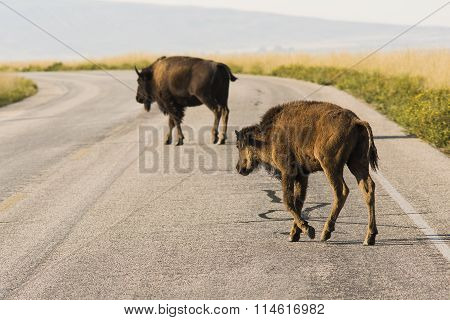 Mom Bison and Her Calf Crossing Road