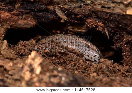 Viviparous lizard (Zootoca vivipara)  partially exposed during hibernation