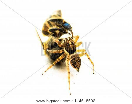 Spider versus bee
