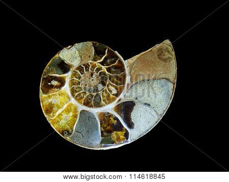 Ammonite fossil- extinct beauty