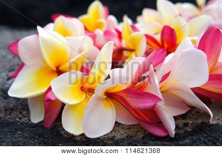 Hawaiian Colorful Plumeria Lei
