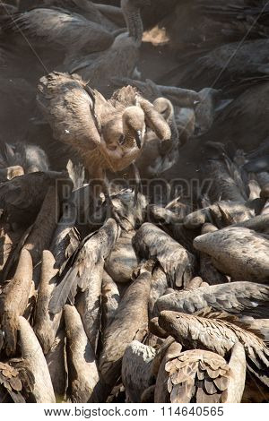 Vultures feeding on a dead carcass in Zimbabwe