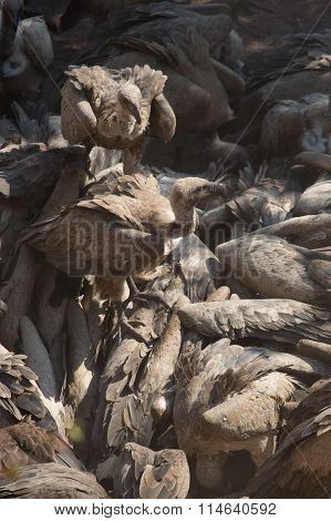 Vultures feed on a carcass in Hwange national Park, Zimbabwe
