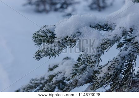 Snow Piles On The Boughs Of Pine Tree