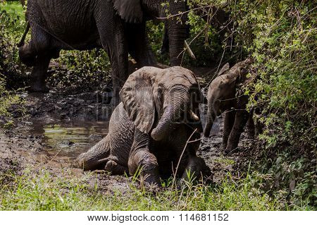 Baby elephant taking mud bath