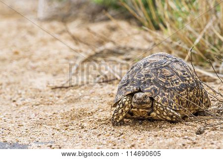 Leopard Tortoise In Kruger National Park