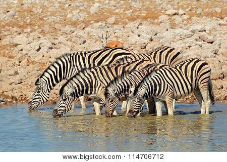 Plains (Burchells) Zebras (Equus burchelli) drinking water, Etosha National Park, Namibia