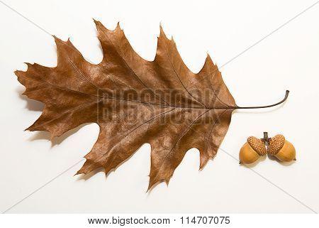 Dry Autumn Oak Leaf On  Over White