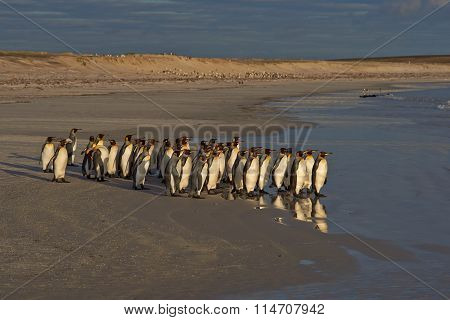 King Penguins Going to Sea