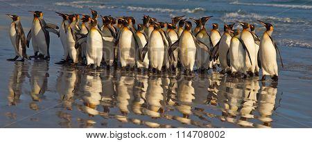 King Penguins at Daybreak