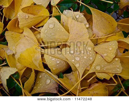Golden Leaves In Rain