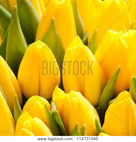 beautiful yellow tulips, big bouquet
