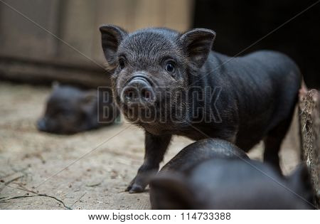 little piglets in a pigsty