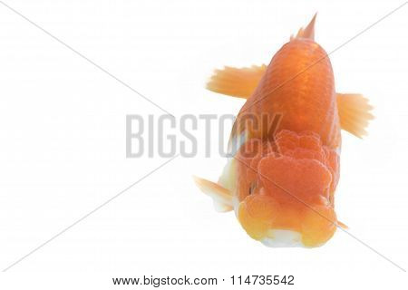Orange Gold Fish Isolated On White