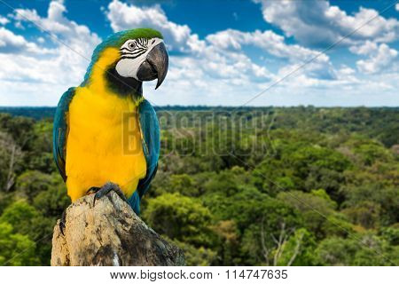Blue and Yellow Macaw on rainforest