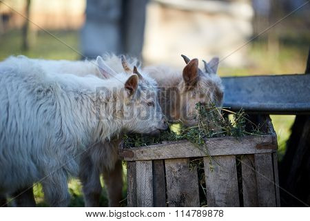 Baby Goats Eating Hay