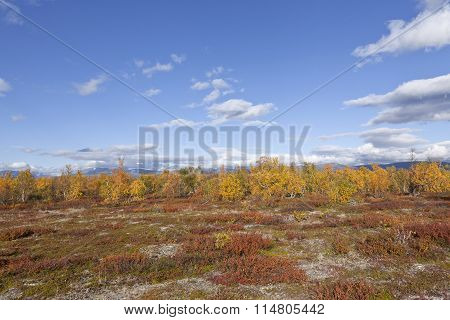 Colorful autumn, fall trees and leaves in the mountain forest, Betula pubescens.