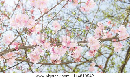 Springtime Apple Flowering Tree With Fresh Leaves And Pink Flowers