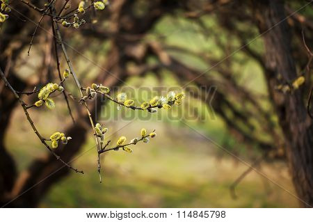 Yellow Pussy Willow  Branches With Buds Blossoming  In Spring
