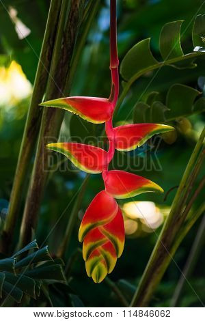 Hanging lobster claw Heliconia rostrata tropical flower bright red yellow green plant flora in Tobag
